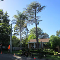 Removal of large Himalayan Cedar (Cedrus deodara) - 9:00am