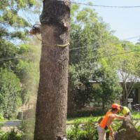 Removal of large Himalayan Cedar (Cedrus deodara) - 12:00pm