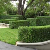 hedge trim 1