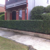 hedge trim 3