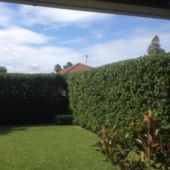 hedge trim 4